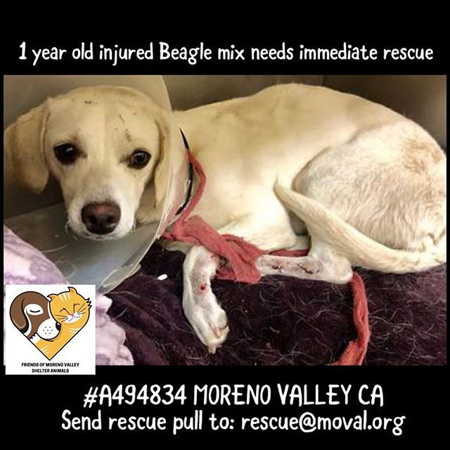 Urgent 1 Yr Old Male Beagle Mix Soft Tissue Injury From Being