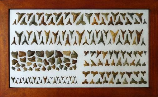 fossilized shark teeth - nicely displayed / I think they would make some nice shark tooth necklaces also!