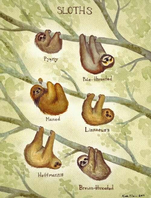 Pygmy three-toed sloth (Bradypus pygmaeus) Maned sloth (Bradypus torquatus)…