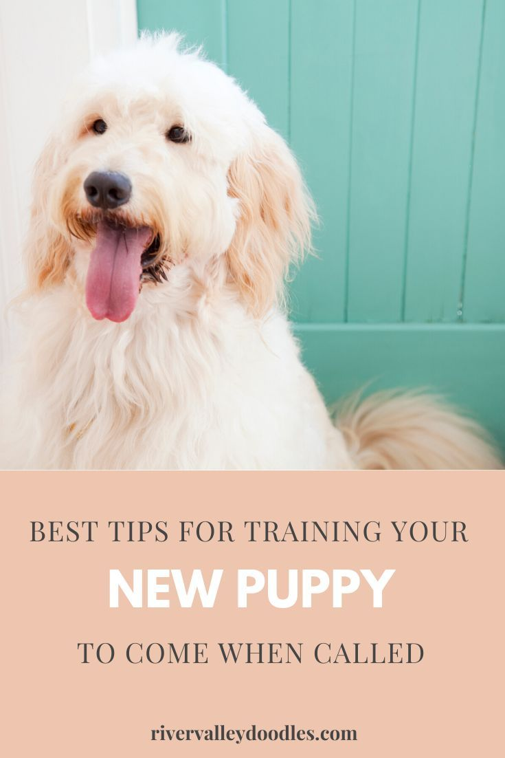 8f8b602b5d7f724fee6fe744c6e4a4ff - How Do You Get A Puppy To Come When Called