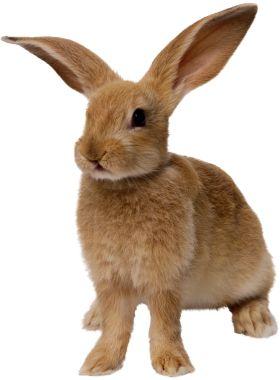 Rabbit PNG image