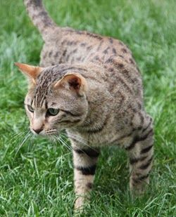 F5 Savannah Cat