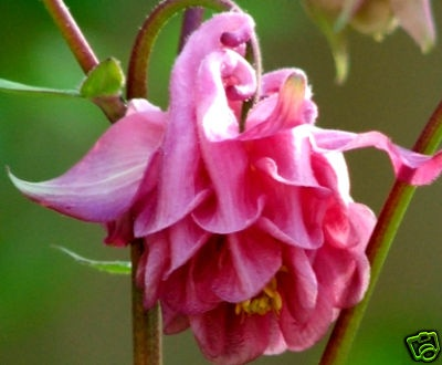 pink columbine double pictures to pin on   pinsdaddy, Beautiful flower