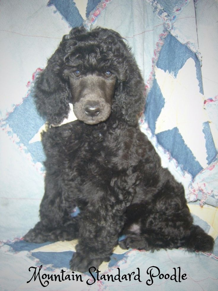 This pup is not for sale, see Mountain Standard Poodle for available pups.