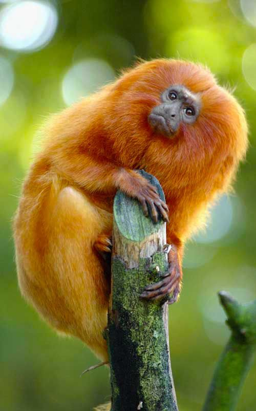 Golden Lion Tamarin or Golden Marmoset (Leontopithecus rosalia) - native to Atlantic coastal forests  of Brazil