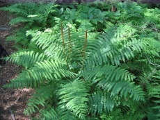 Cinnamon Fern Plant Info: How To Grow A Cinnamon Fern    By Jackie Carroll      Cinnamon ferns are tall, stately beauties that grow wild in swamps and on moist mountain slopes of eastern North America. They reach heights of 4 feet or more with two types of fronds that have distinctly different colors and textures. This attractive and interesting fern is an asset to any shady landscape. Continue reading to learn more about cinnamon fern plant info and how to grow a cinnamon fern......