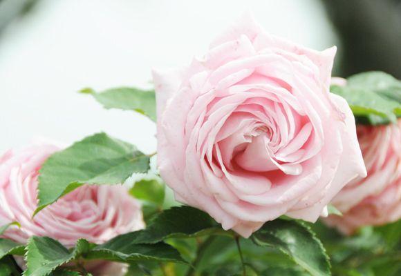 Прогулка Через Розовом саду | Земные блага