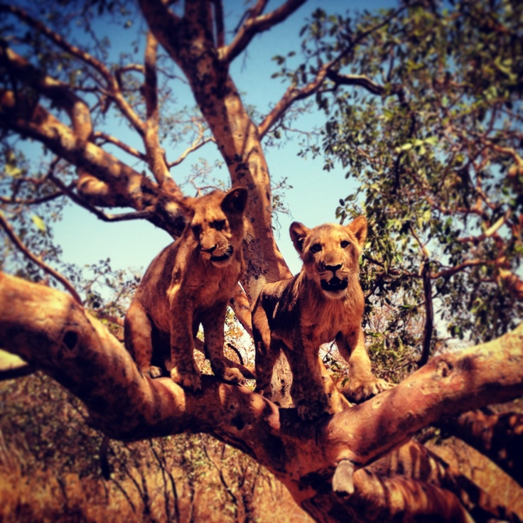 #lions #walking with lions #africa