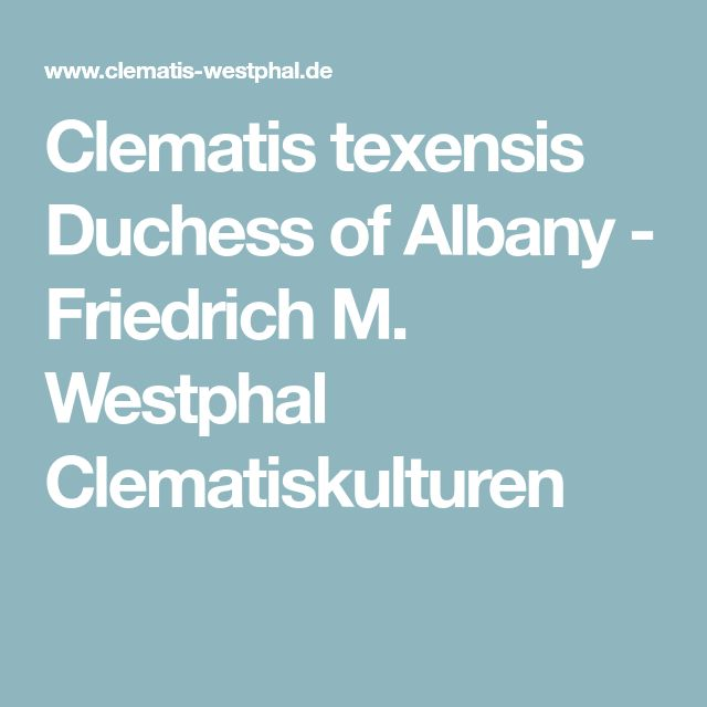 Clematis texensis Duchess of Albany - Friedrich M. Westphal Clematiskulturen