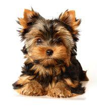 Yorkshire Terrier                                                                                                                                                                                 Plus