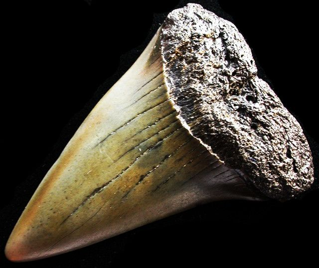 42.31 CTS  MEGALDON SHARK TOOTH FOSSIL [MGW2959]  SHARK TOOTH FOSSIL,  FROM FOSSILS FROM GEMROCKAUCTIONS.COM