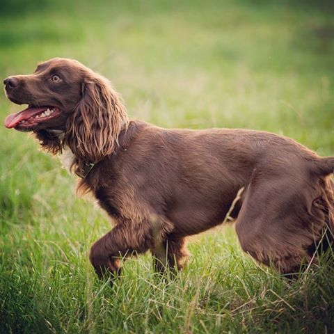 Boykin Spaniels have special personalities and enthusiastic field abilities that no other #dogs can match. #AKCBreedOfTheDay #BoykinSpaniel