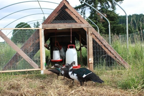 Raising ducks and chickens on pasture muscovy ducks for Movable duck house
