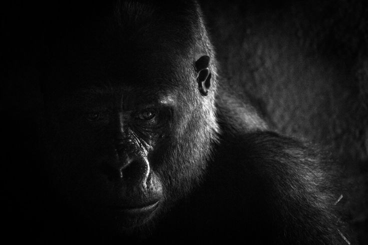 Silverback by Tristan Edouard on 500px