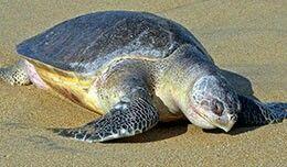 Tortuga Golfina. Lepidochelys Olivacea.  Las tortugas golfinas deben su nombre a su caparazón de color oliva. Igual que las Tortuga Lora, son pequeñas y pesan menos de 45 kilogramos. Se encuentran en las regiones tropicales de todo el mundo. Se alimentan principalmente de invertebrados como los cangrejos, camarones, langostas, medusas y tunicados, aunque algunas comen principalmente algas. Al anidar, las hembras salen a la playa en colonias de hasta mil tortugas y tienen agregaciones de masa…
