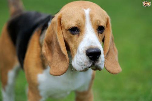 10 Exhilarating Beagles Make Great Pets Ideas Beagle Puppy
