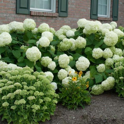 Incrediball Hydrangea On Sale At Spring Hill Nursery