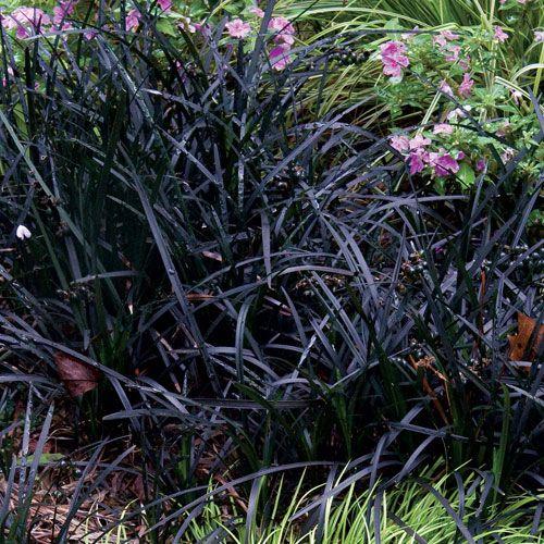 112 best images about black deep purple flowers for Dark ornamental grasses