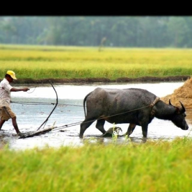 A filipino farmer plowing a rice field with the help of his carabao.