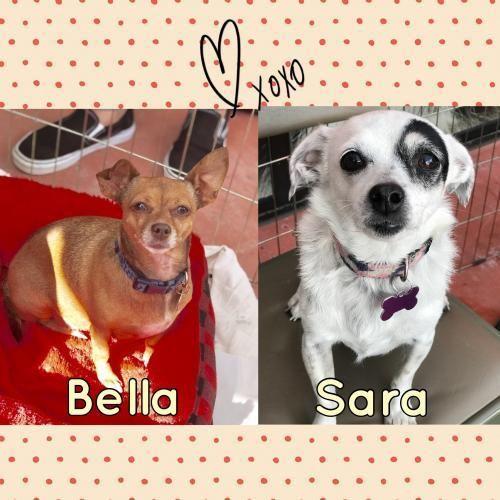 Adopt Bella On Chihuahua Mix Adoption Chihuahua