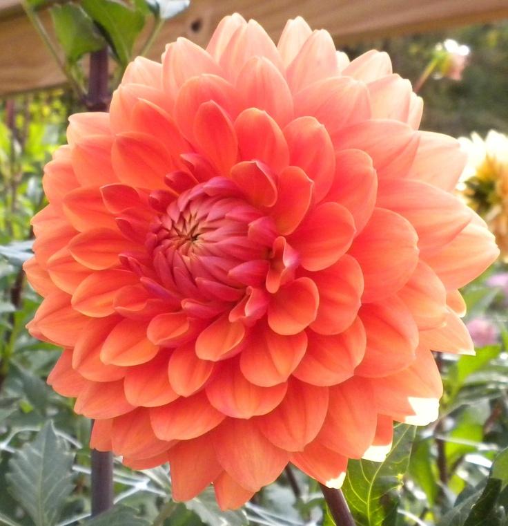 les 102 meilleures images du tableau dalhia sur pinterest belles fleurs fleurs de dahlia et. Black Bedroom Furniture Sets. Home Design Ideas