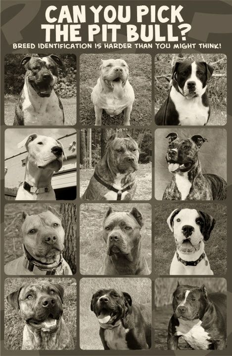 "Can you pick the Pit Bull? ""left to right, top to bottom: 1. American Bulldog 2. American Allaunt 3. Alapha Blue Blood Bulldog 4. Dogo Argentino 5. Presa Canario 6. Ca do Bou 7. American Pit Bull Terrier 8. Cane Corso 9. Boxer 10. American Bandogge 11. Olde English Bulldog 12. American Bully. BSL is not a solution, it is a problem… It is wrong, and innocent animals die because of it."" I wanna be on the loving pitty committee"