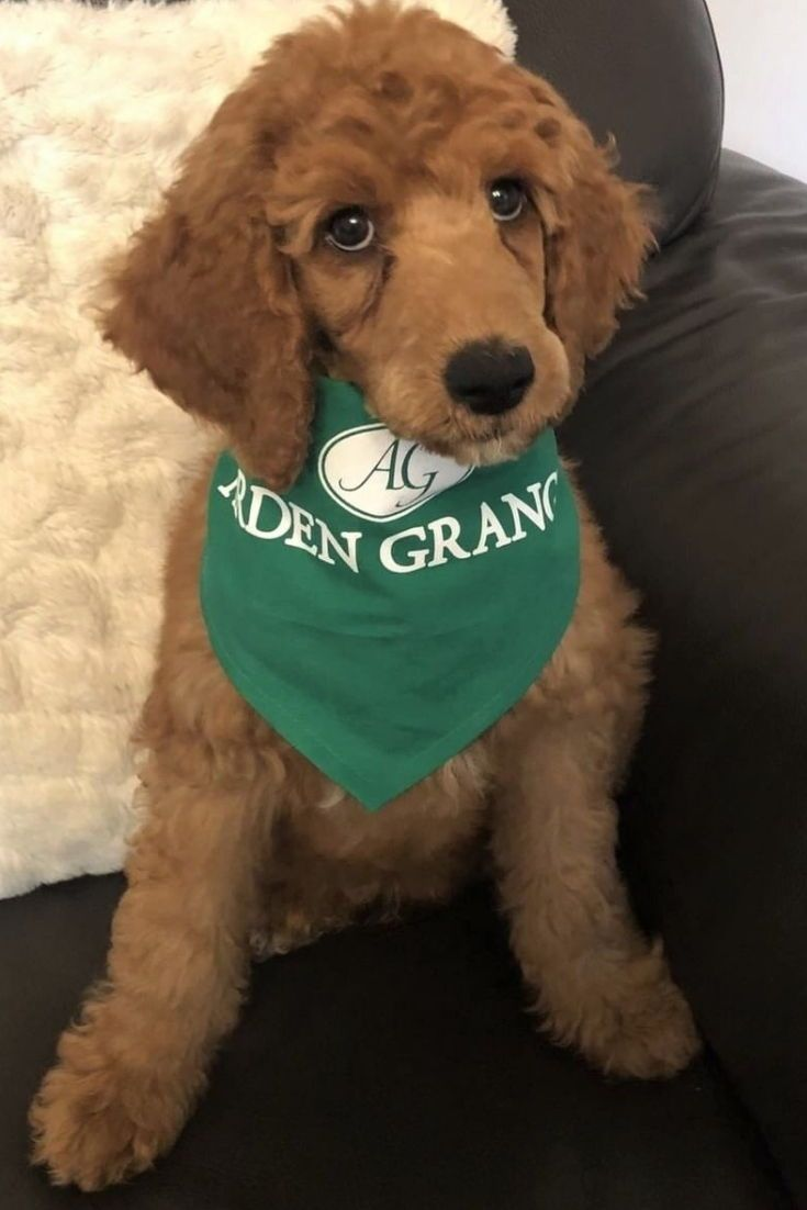 Look At This Stunning Standard Poodle Puppy This Is Reuben