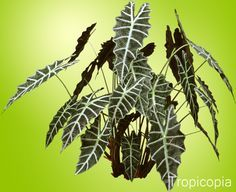 Alocasia Plant - Houseplant Care and Identification | HousePlant411.com | Houseplant 411 - How to Identify and Care for Houseplants