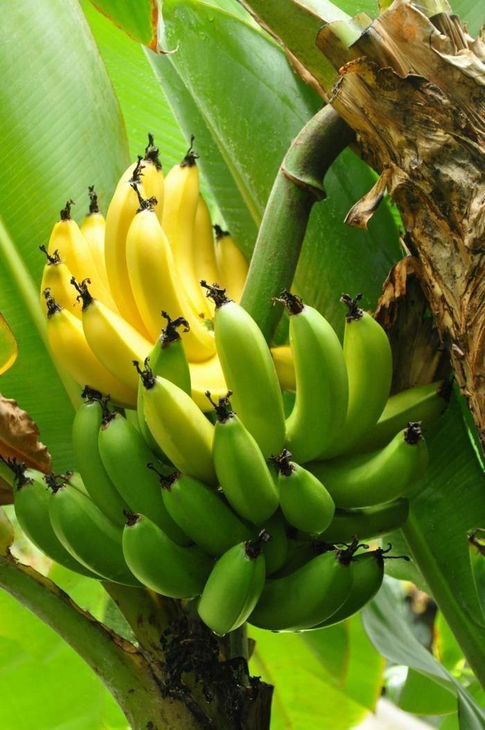 bananier avec bananes délicieuses dans votre propre jardin
