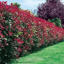 tree-shop.co.uk - Red Robin beautiful hedging plants,tree or shrub