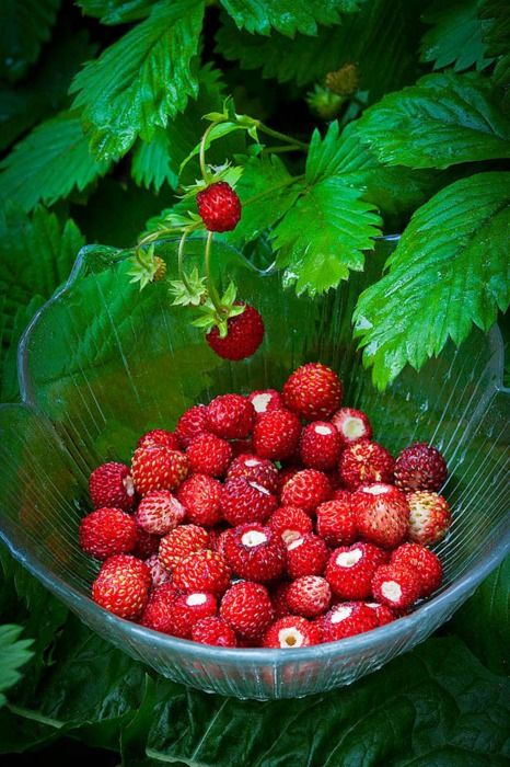 Grandma had wild strawberries on her farm. They were much smaller than the one's we buy today at the grocery, but they were absolutely packed with flavor!