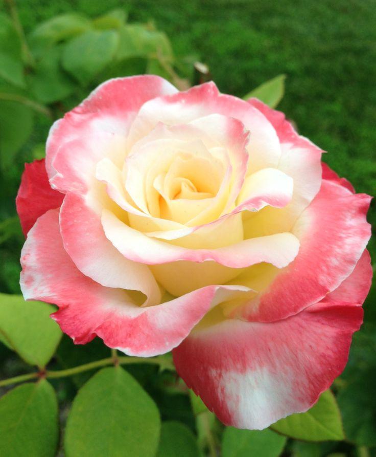 rose by sari