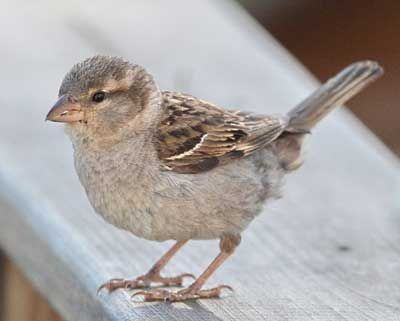 A lady sparrow. To differentiate between sparrows, I started with this one. The light stripe behind the eyes and plain breast are tell-tale signs. Once you've locked in these characteristics, it becomes much easier to pick out less common but similar-looking birds.