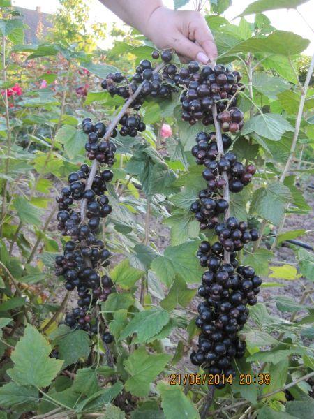 Эбони -    Новый ранний английский сорт. Ягода крупная,  сладкая, с сухим отрывом, хорошо сохраняется. Высокоурожайный сорт. при больших урожаях ветки надо подвязывать. Рекомендуется обрезка отплодоносивших  пагонов.