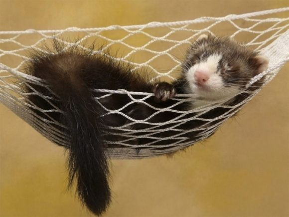 cute ferret sleeping in a hammock