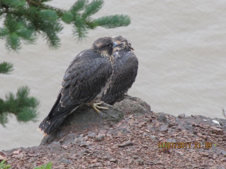 falcons at bay of fundy