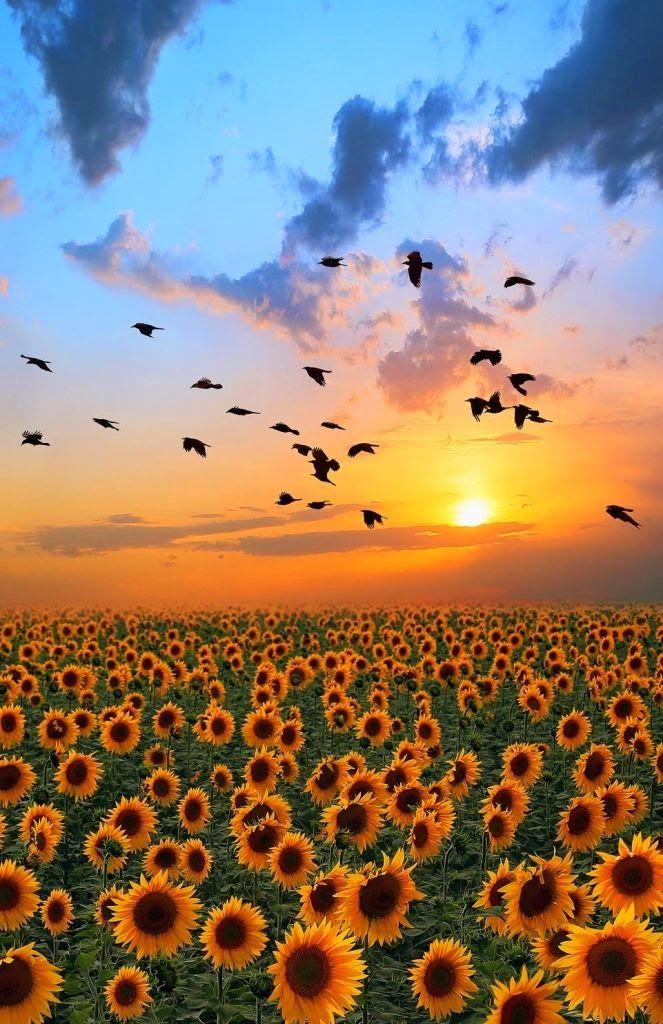 Natures beauty Devon, England - Natures beauty Castelluccio, Italy Sunflower sunrise -Natures beauty