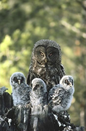 Mother Great Gray Owl and Her Three Babies