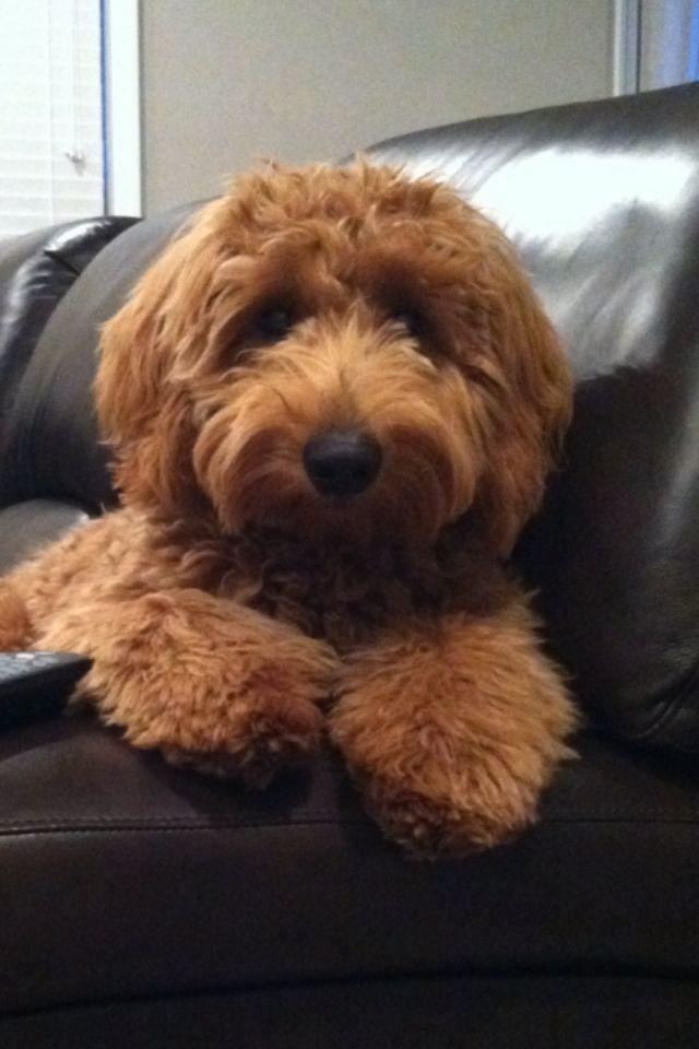 Jeter: 7 month old mini goldendoodle