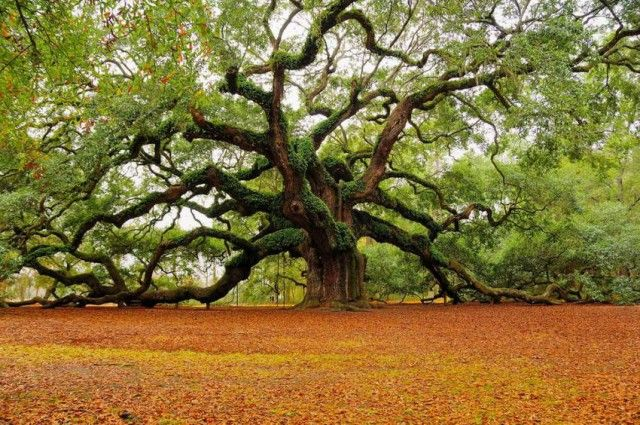 Angel Oak Tree, St John Island off Charleston, SC. There are some amazing pics of this tree online. Gotta try make it up there for a shoot.
