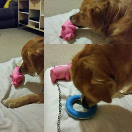 My #goldenretriever Bella celebrating her 5th birthday!!! Lots of presents and steak for dinner! #dog
