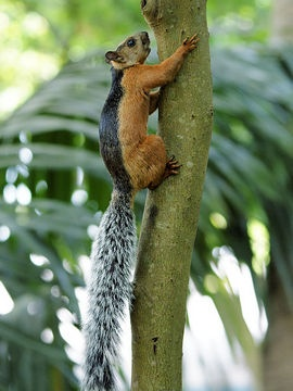 Variegated squirrels (Sciurus variegatoides) are found in North and Central America, from southern Chiapas, Mexico to Central Panama. (Best, 1995; Eisenberg, 1989; Emmons, 1990; Reid, 1997) (Source: EOL - http://eol.org/pages/313018/overview)