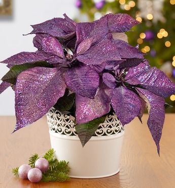 Purple Poinsettias to match my purple themed tree this year