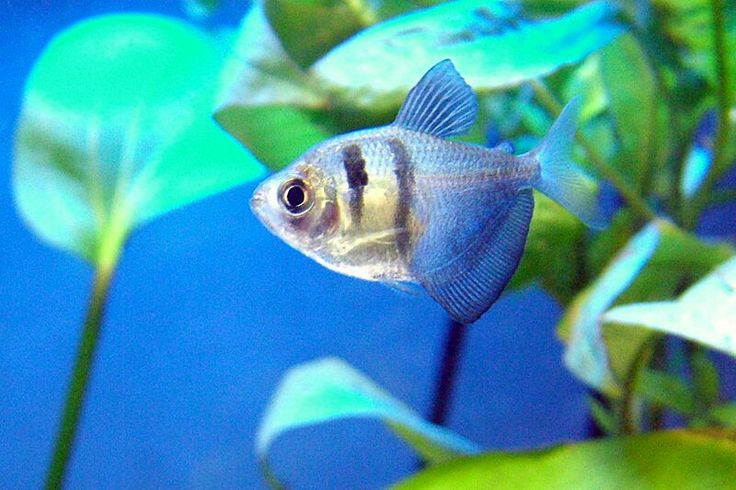 1000 images about tetras on