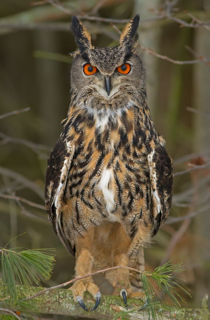 Eurasian Eagle Owl by Bill McCormack on 500px