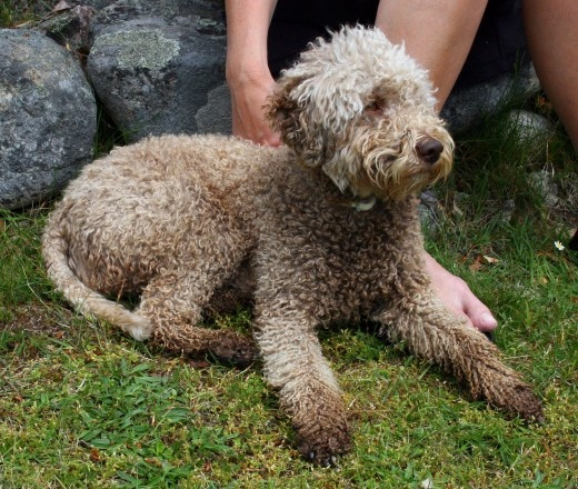 Italian Truffle Dog Puppies For Sale Uk
