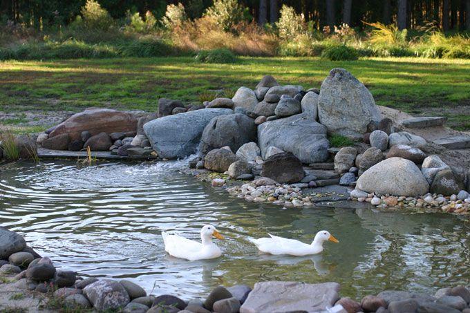8 best duck pond images on pinterest ducks hen house for Backyard duck pond