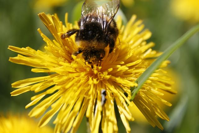 Martje: Bee in dandelion