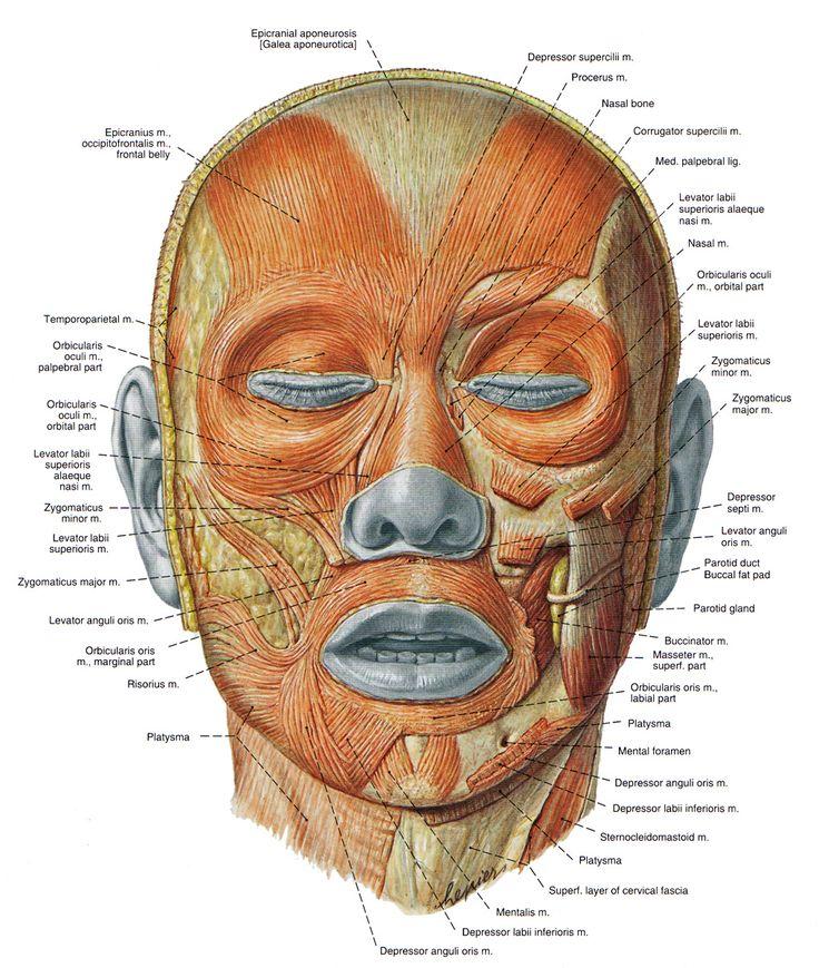 Mejores 14 imágenes de Skulls en Pinterest | Anatomía, Anatomía de ...