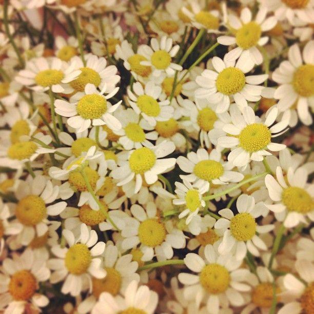 Daisies: Pur Handbags, Favorite Flowers, Happy Flowers, Bags Pur, Posts, Happiest Flowers, Wedding Flowers, Pretty Flowers, Flowers Green